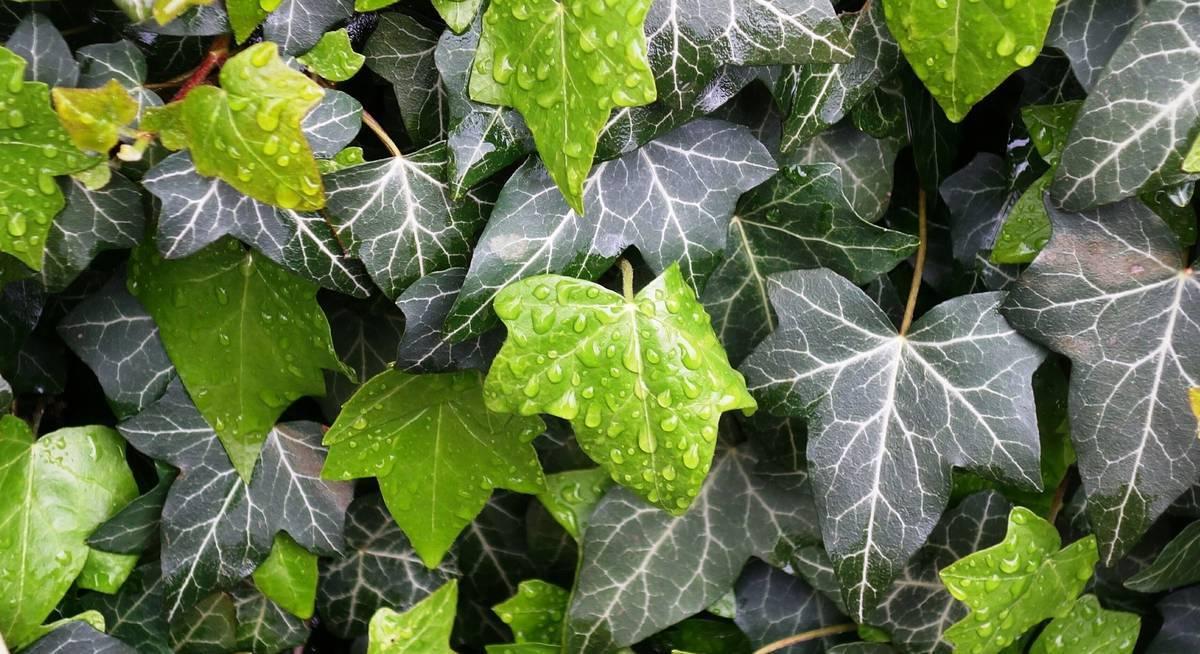 Плющ садовый вечнозеленый морозостойкий когда сажать