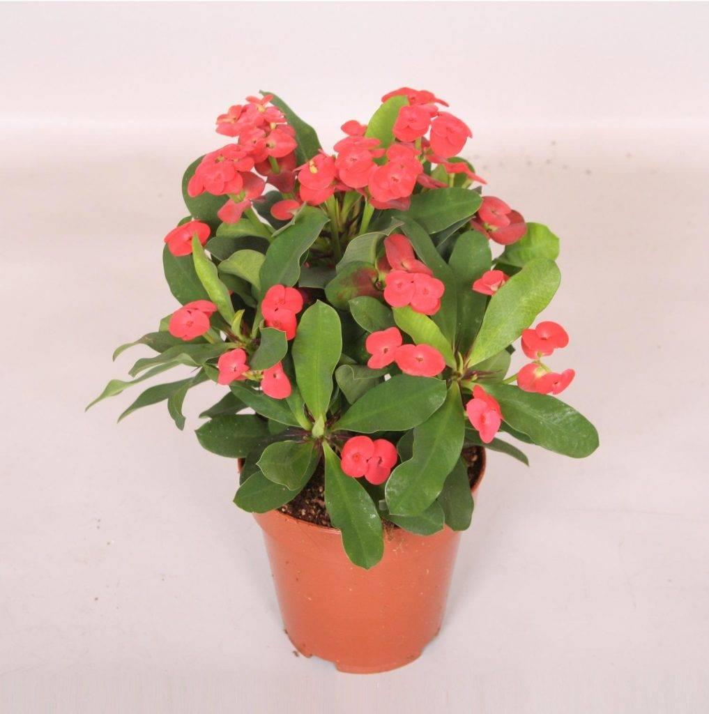 Молочай миля (36 фото): уход за эуфорбией милля в домашних условиях, обрезка и размножение цветка, опыление и цветение