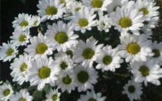 Хризантемы сантини (49 фото): кустовая «крисси», желто-зеленая «кантри», «конфетти», белая «баунсер», «росси крем» и другие