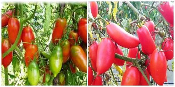 Томат алый мустанг: характеристика и описание высокоурожайного сорта с фото
