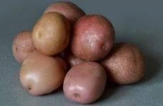 Картофель киви: характеристика и описание сорта, фото, отзывы