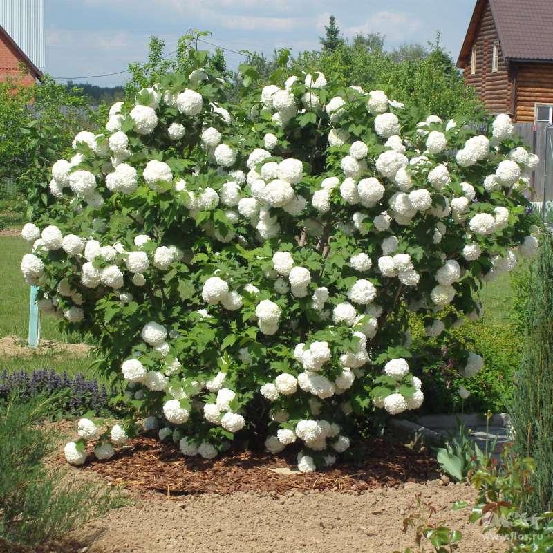 Калина: посадка и уход в открытом грунте, выращивание в саду, обрезка и размножение