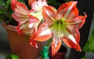 Не цветет амариллис? что делать и как правильно ухаживать в домашних условиях во время и после цветения