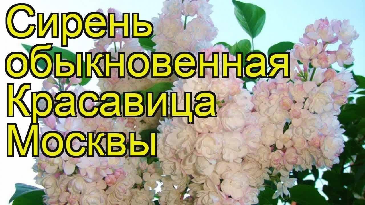 Сирень «мадам антуан бюхер» и«красавица москвы» цветут вновосибирске