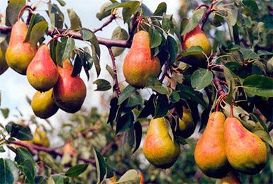 Груша киффер описание сорта особенности урожайность и отзывы - агро журнал dachnye-fei.ru