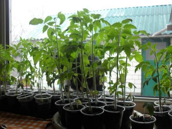 Рассада томатов перерастает, что делать - про сорта
