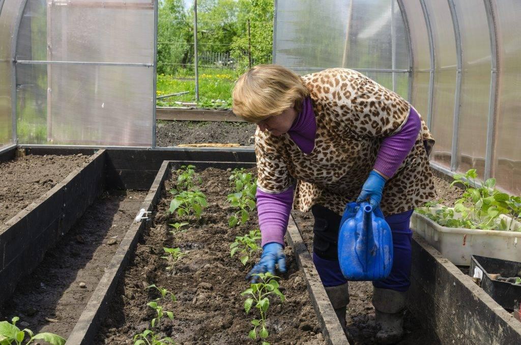 Прищипка перцев в рассаде: какие сорта нуждаются в процедуре, пошаговая инструкция