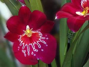 Орхидея мильтония: описание и уход в домашних условиях, подробные инструкции с фото мильтониопсиса и видео