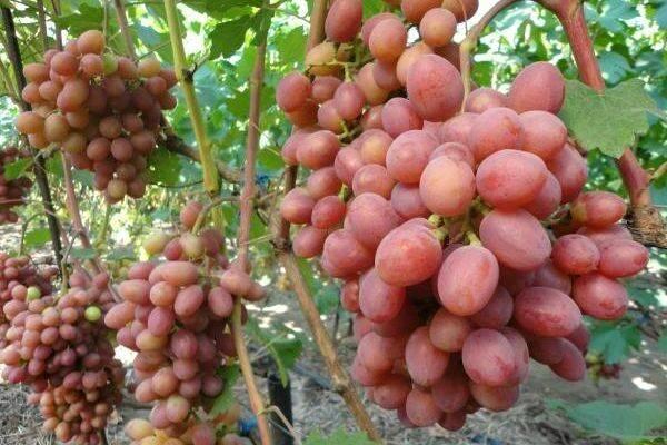 Виноград сорта Рута