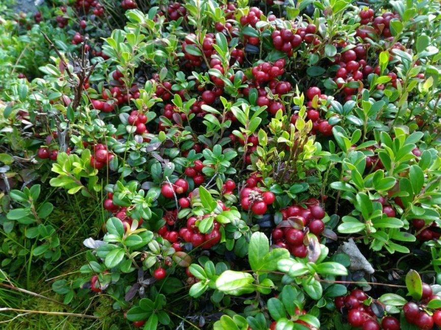 Садовая брусника: посадка, размножение и уход при выращивании в саду из семян и черенков, польза