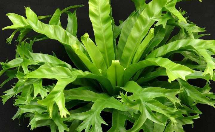 Асплениум или костенец (asplenium). выращивание, уход, размножение.