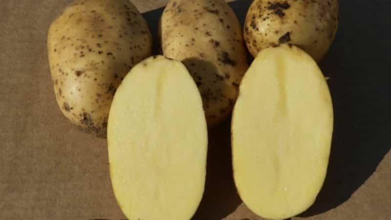 Сорт картофеля колетте: описание и характеристика, отзывы