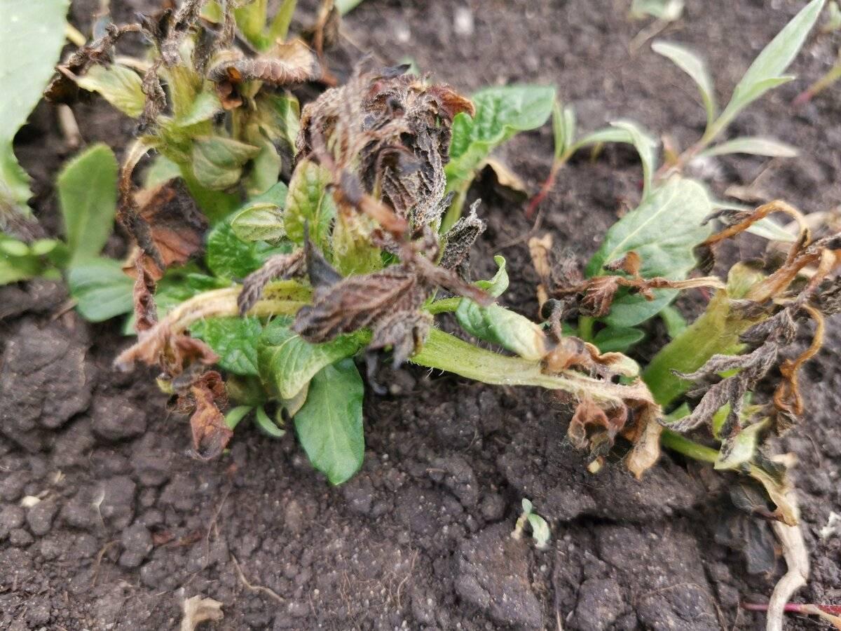 Ботва картофеля рано полегла: причины и что делать чтобы спасти урожай