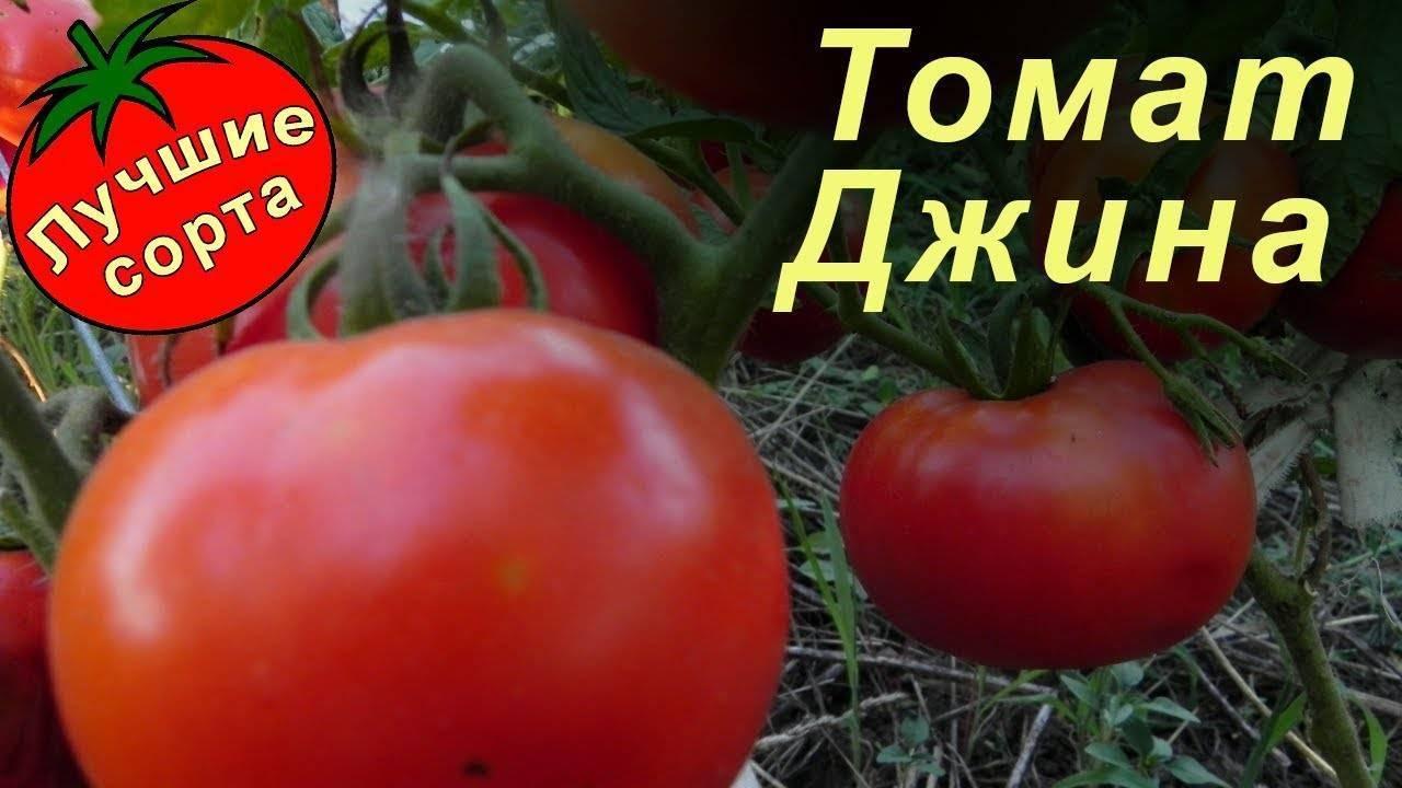 Томат «джина»: характеристика и описание сорта