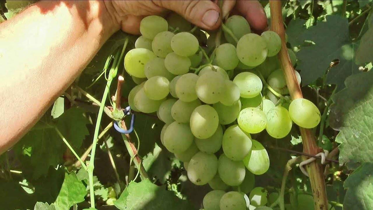 Виноград светлана: описание сорта и его особенности, характеристики и фото selo.guru — интернет портал о сельском хозяйстве