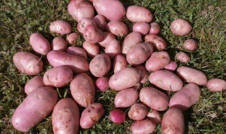 Картофель голубизна: характеристика сорта, отзывы, вкусовые качества