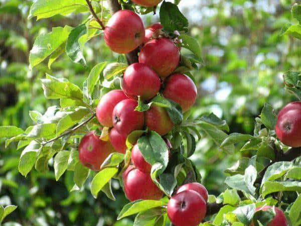 Особенно яблони мартовское