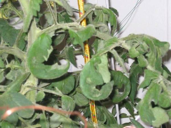 Скручиваются листья у помидоров: способы борьбы | спутниковые технологии