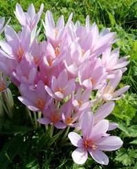 Безвременник осенний - описание цветка и его особенностей