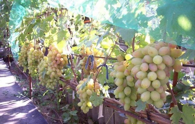 Виноград виктор: описание сорта, фото и отзывы
