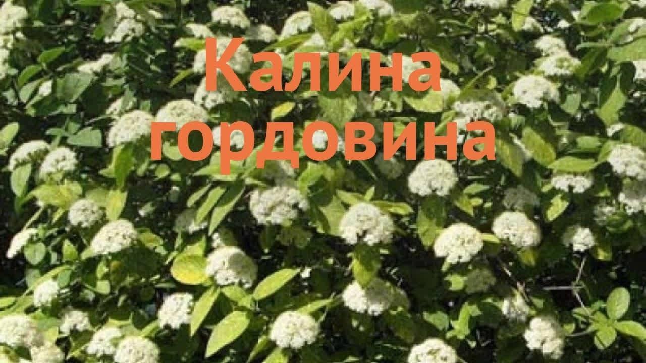 Калина Гордовина: особености выращивания и ухода