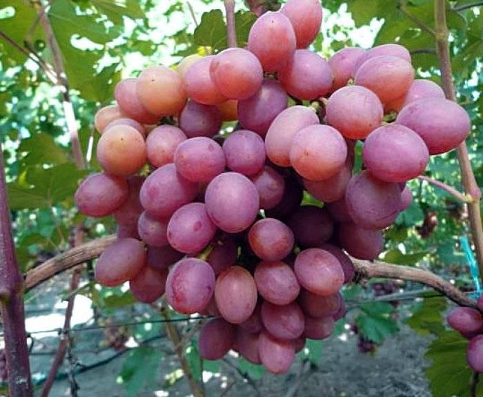 """Виноград """"гурман ранний"""": описание сорта, фото, отзывы"""