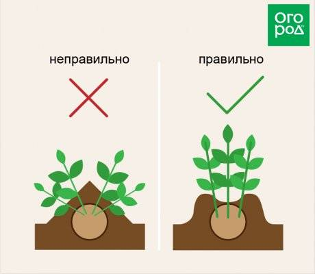 Когда и как окучивать томаты