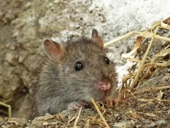 Как можно избавиться от крыс в курятнике, если они повадились воровать яйца