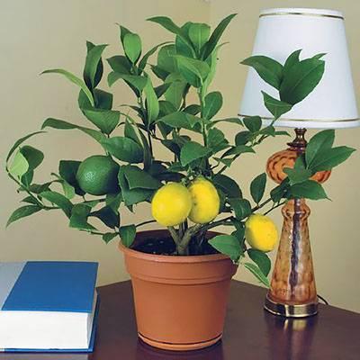 Листья лимона желтеют и сохнут с конца и по краям: почему кончики вянут, что делать для спасения растения?дача эксперт