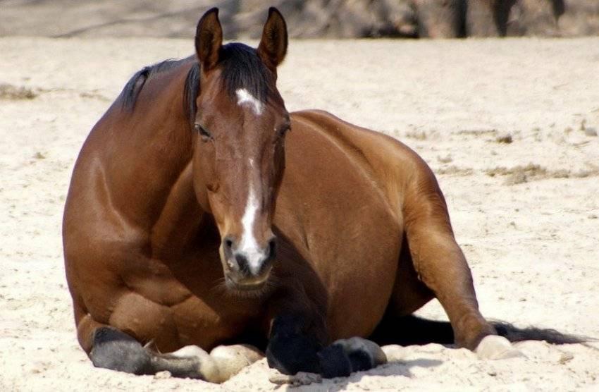 Как спят лошади. стоя или лежа спят лошадки?