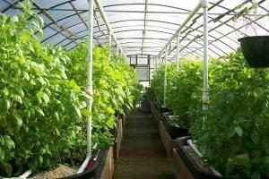 Как получить ранний урожай огурцов в неотлапливаемой теплице: видео выращивания и агротехника ухода