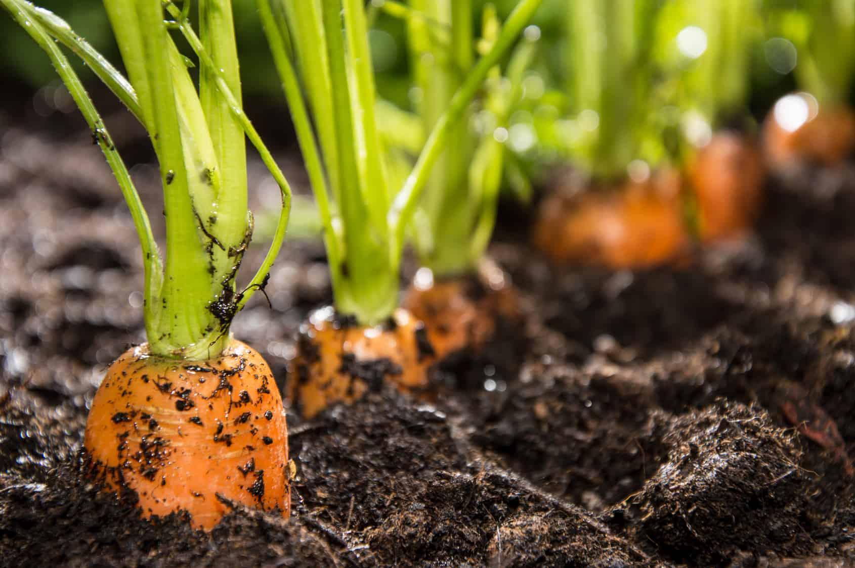 Как посадить морковь, чтобы быстро взошла, ускорить всхожесть семян: что надо делать, как быстро прорастить перед посадкой (видео)