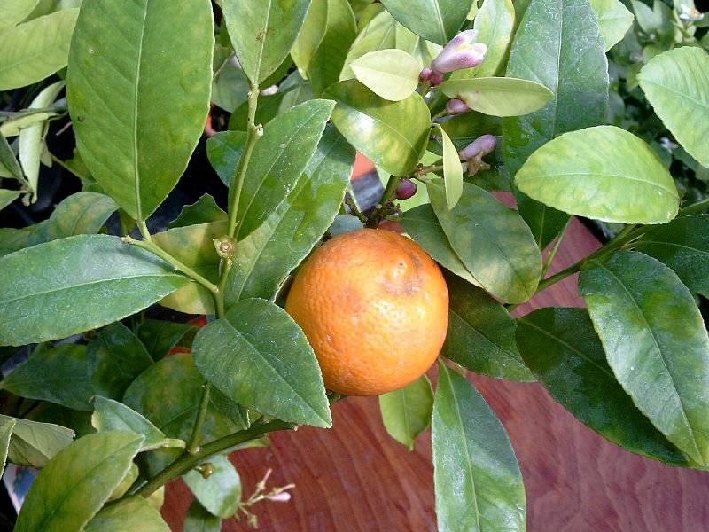 Виды цитрусовых фруктов: фото