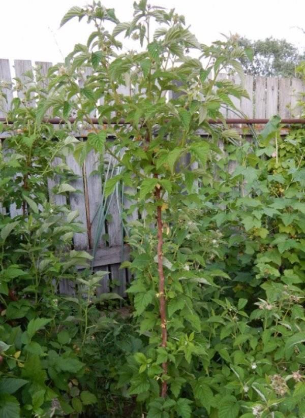 Малиновое дерево: описание, посадка и уход, достоинства и недостатки