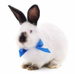 Калифорнийский кролик: описание породы и фото