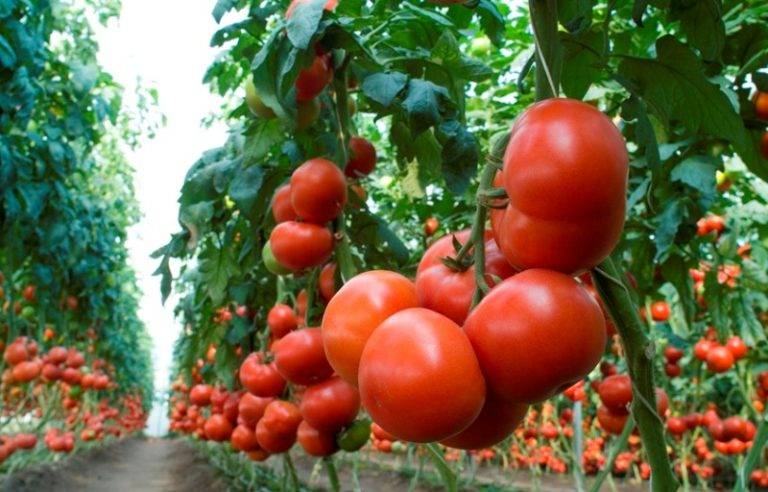 Томат гравитет f1: характеристика и описание сорта, фото, отзывы, урожайность