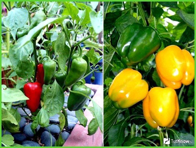 Перец геркулес f1: отзывы огородников, фото, урожайность сорта