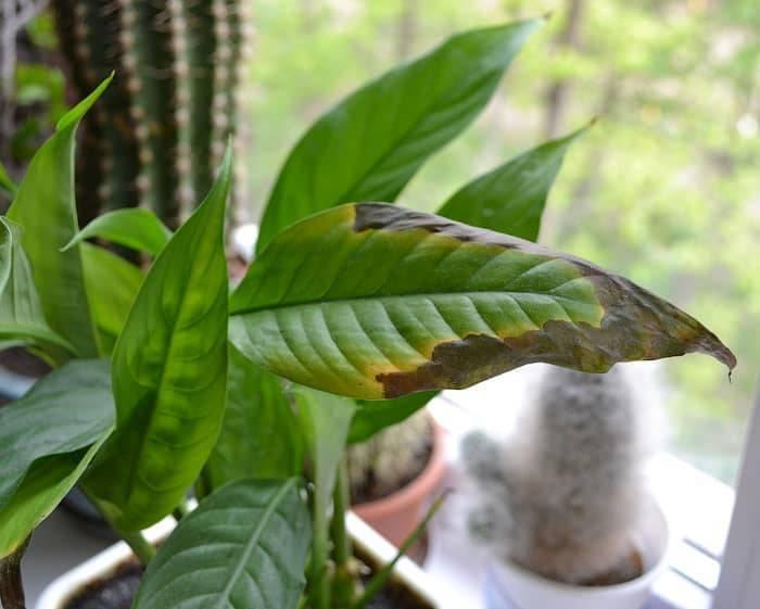 Чернеют листья у спатифиллума – причины и лечение