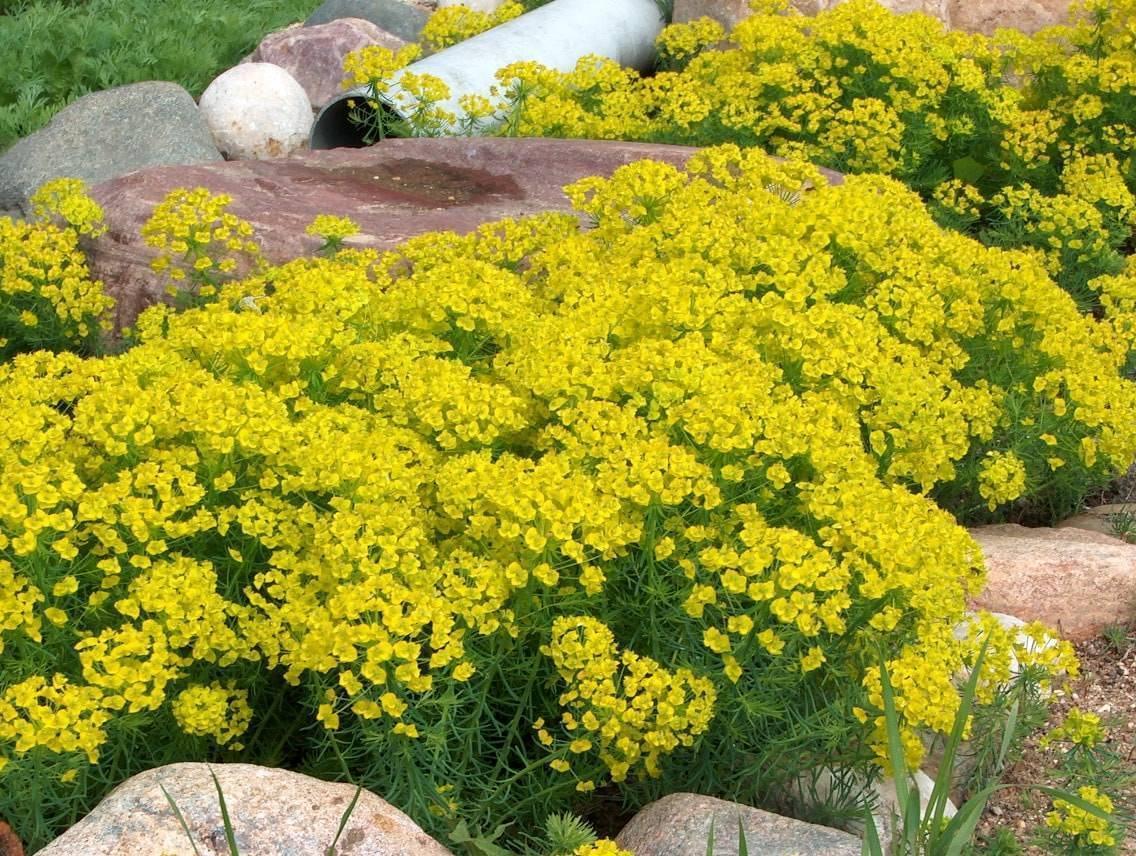 Молочай садовый многолетний: посадка и уход, выращивание растения