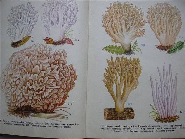 Грибы оленьи рожки: характеристика и особенности приготовления