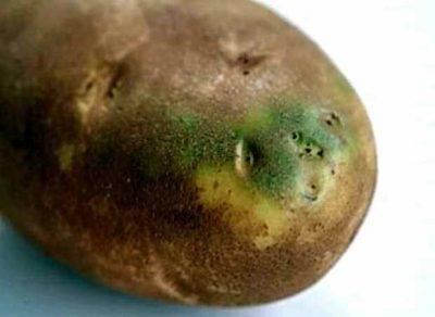 Надо ли обрезать картофельную ботву и когда: сроки и правила скашивания