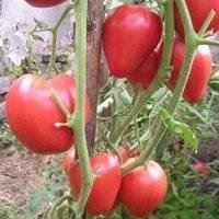 Томат чудо земли: описание сорта, отзывы, фото | tomatland.ru