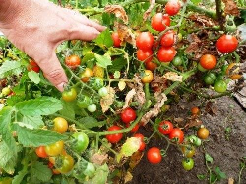 Важно знать огородникам: при какой температуре лучше всего выращивать и сеять рассаду помидоров?