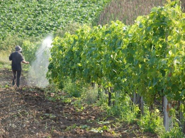 Фунгициды для винограда: опыт применения препаратов от грибковых заболеваний