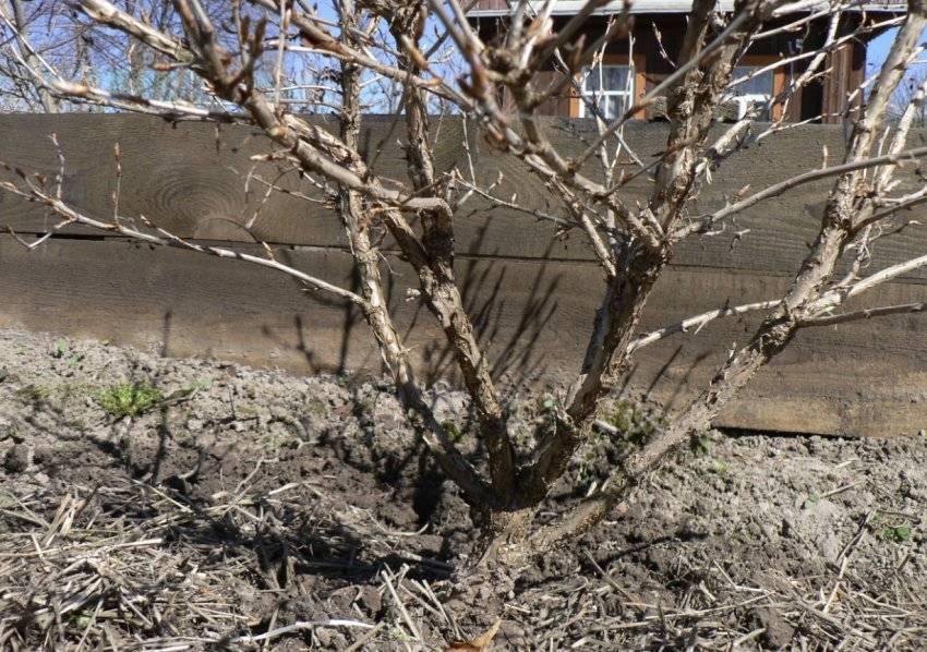 Уход за крыжовником весной: обрезка, подкормка, полив, борьба с болезнями и вредителями