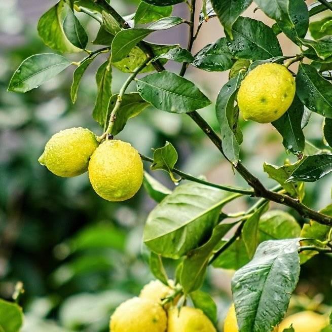 Почему листья лимона желтеют, а затем сохнут с конца и по краям? как спасти растение?