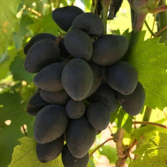 Виноград «ромбик» — новый ультраскороспелый сорт