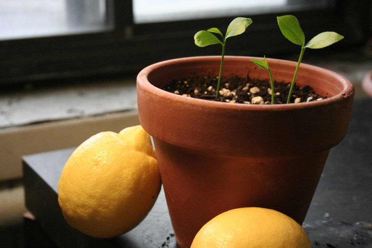 Как пересадить лимон в домашних условиях? простая инструкция по пересадке лимона в другой горшок (80 фото + видео)