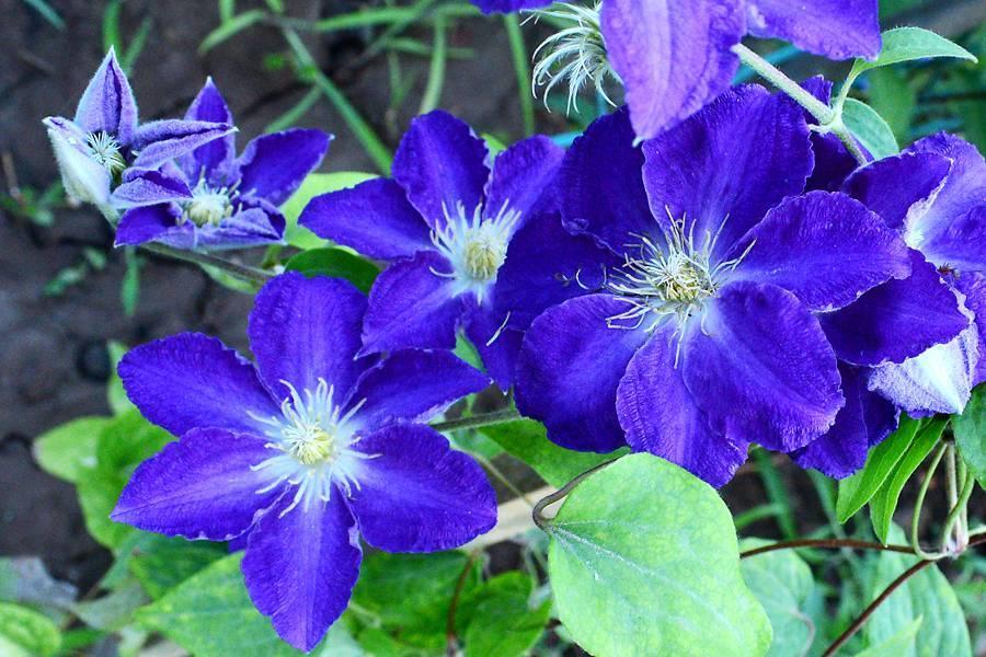 Клематис Хания — описание растения
