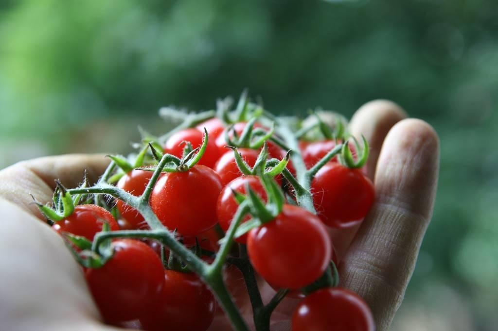 Обильно плодоносящий гибрид с аккуратными плодами — томат свит черри f1: описание сорта